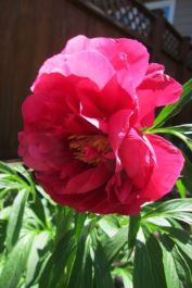 Peony in full bloom