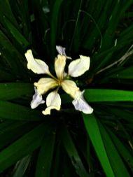 Iris biggified
