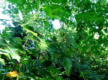 Oregon grape---the grapes are still green