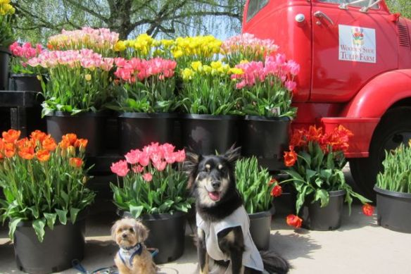 Buckets of tulips