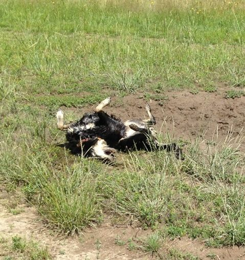 There's nothing like a good roll after wallowing in a mud hole.